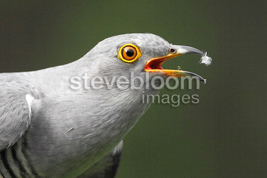 Head details of a Cuckoo, Spring, England, UK