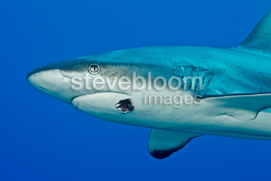 Gray Reef Shark injured by a hook, Fakarava, French Polynesia