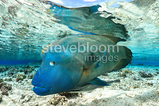 Humphead Wrasse under water surface, Fakarava, French Polynesia