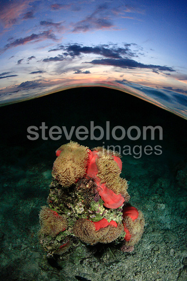 Magnificent sea anemone at sunset, Tahiti, French Polynesia