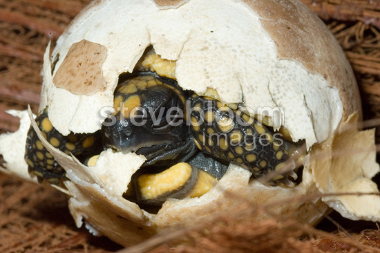 Birth of a Wood tortoise French Guania