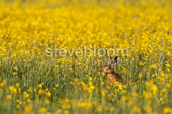 Brown hare laying amongst buttercup flowers spring, England, UK