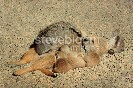 Suricate nursing her young and resting, Mulhouse, France (Captive)