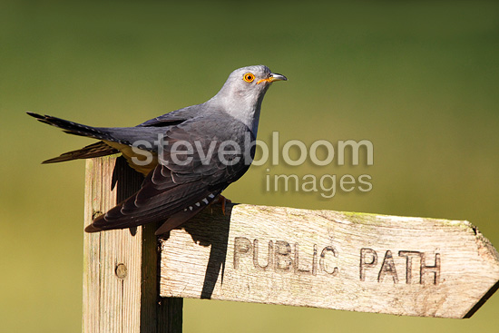Cuckoo perched on a public footpath sign, spring, UK