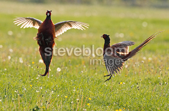 Males Ring-necked pheasants fighting, spring, UK