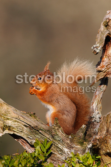 Red squirrel feeding on a dead branch, spring Scotland, UK