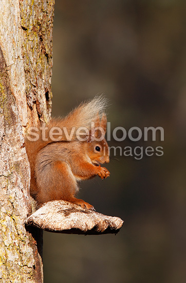 Red squirrel eating sitting on a fungus, Scotland, UK