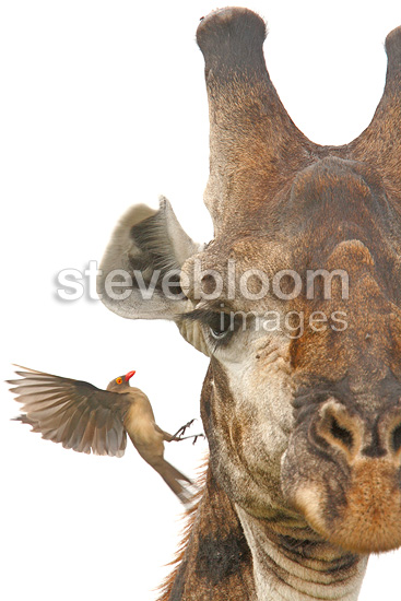 Red-billed Oxpecker on Giraffe, , Kruger NP, South Africa