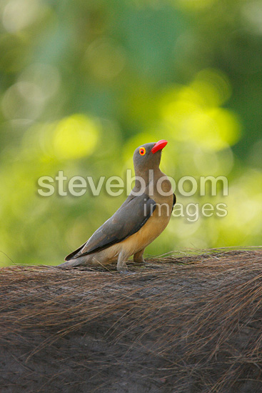 Red-billed Oxpecker on the back of a Warthog, South Africa