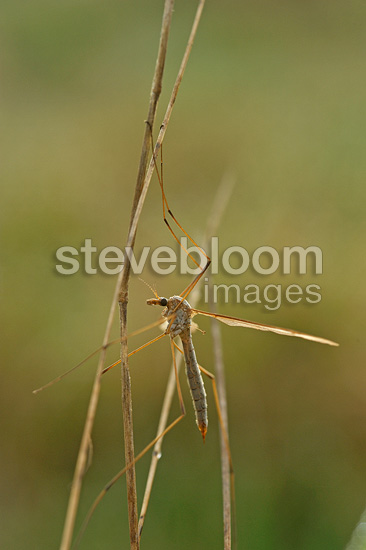 Female cranefly at dawn on a twig Finistère