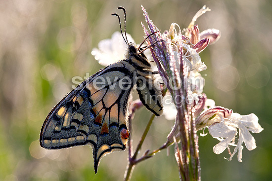 Swallowtail on a flower in the spring, Provence, France