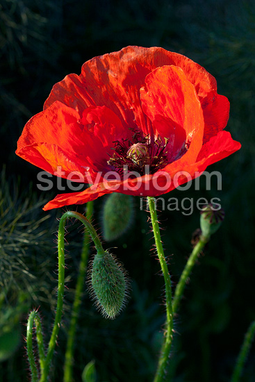 Poppy blossoms in spring, Provence, France