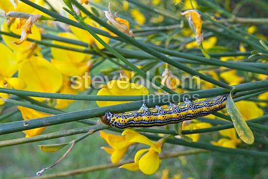Apopestes caterpillar on a Spanish broom, France