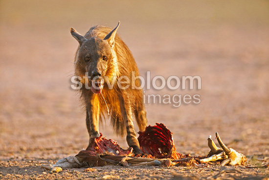 Brown hyena eating a Springbok Kalahari Gemsbok National Park, South Africa