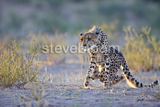 Cheetah hunting in the Kalahari Desert, South Africa