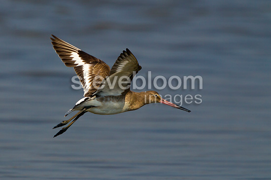 Black tailed godwit in flight in spring, England