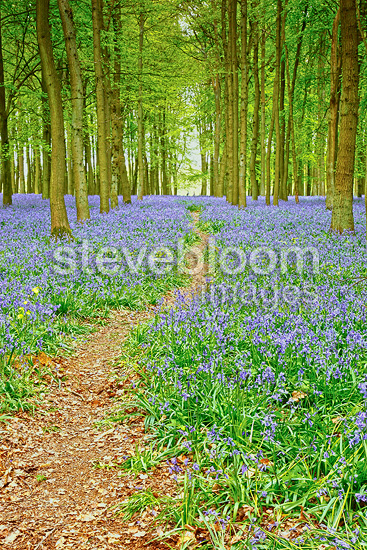 Common Bluebells flowering in spring, England, GB