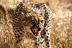 Cheetah snarling,  South Africa