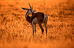 Springbok at dawn, Kalahari  National Park, South Africa