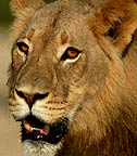 African Lion, Kalahari National Park, South Africa