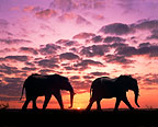African elephants at sunset, South Africa