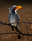 Yellow-billed hornbill, Kruger National Park, South Africa