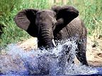 African elephant splashing, Kruger National Park, South Africa