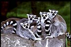 Madacascan Ring-tailed lemurs (captive)