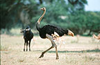 Male ostrich, South Africa