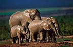 African elephants in Addo Elephant Park, South Africa