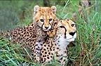 Cheetah mother and cub, South Africa