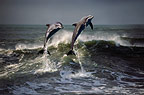 Dolphins leaping out of a wave, South Africa