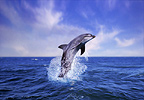 Bottlenose dolphin, South Africa