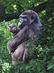 Western lowland gorilla mother and baby (captive)