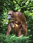 Sumatran orangutan mother and baby (captive)