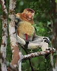 Male proboscis monkey, Borneo