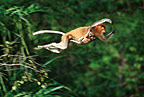 Female proboscis monkey leaping with her baby, Borneo