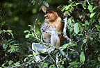 Proboscis monkey eating, Borneo
