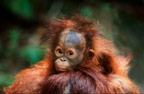 Baby Bornean orangutan on mother's back, Borneo