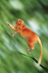 Golden lion tamarin (captive)