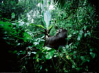 Mountain gorilla eating wild bananas, Parc des Virungas, Democratic Republic of Congo