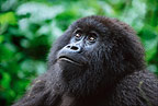 Female mountain gorilla, Parc des Virungas, Democratic Republic of Congo