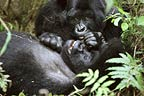 Mountain gorillas, Parc des Virungas, Democratic Republic of Congo