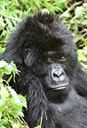 Mountain gorilla, Mgahinga National Park, Uganda