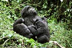Mountain gorillas, Mgahinga National Park, Uganda