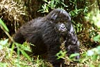 Mountain gorilla, Parc des Virungas, Democratic Republic of Congo