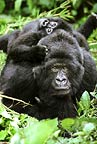 Mountain gorilla mother and baby, Mgahinga National Park, Uganda