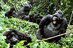 Family group of mountain gorillas, Mgahinga National Park, Uganda  (digital composite)