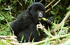 Mountain gorilla eating bamboo, Parc des Virungas, Democratic Republic of Congo