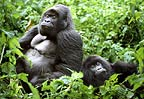 Silverback and female mountain gorillas , Parc des Virungas, Democratic Republic of Congo